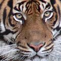 Tiger.100.jpg