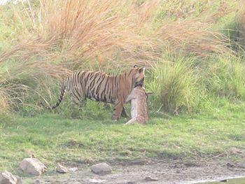 Tiger taking its kill in bushes.jpg