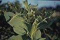 Tilia platyphylla gall, Fforest Ganol (31022382215).jpg