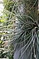 Tillandsia rhomboidea 1zz.jpg
