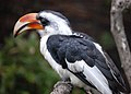 Tockus deckeni -London Zoo, England -male-8a.jpg