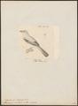 Todirostrum ventralis - 1700-1880 - Print - Iconographia Zoologica - Special Collections University of Amsterdam - UBA01 IZ16500283.tif