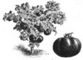 Tomate à tige raide de Laye Vilmorin-Andrieux 1883.png
