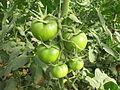 Tomato - തക്കാളി 04.JPG