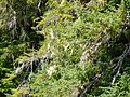 Tongass National Forest 963.jpg