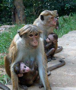 Toque Macaque Sri Lanka.jpg