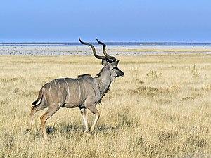 Großer Kudu-Bock