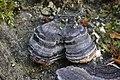 Trametes versicolor (34558423872).jpg