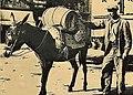 Transport de vin par mule en Provence 1921.jpg