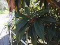 Trauttmansdorff gardens - Eriobotrya japonica 03.JPG