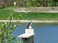 Tree swallow (34226116776).jpg
