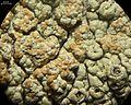 Tremella diploschistina Millanes, M. Westb., Wedin & Diederich 590908 2013-04-19.jpg