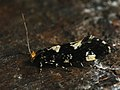 Triaxomera fulvimitrella - Four-spotted clothes moth (26366687327).jpg