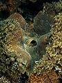 Tricdacna squamosa (Giant clam) Maubara.jpg