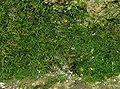 Trichomanes speciosum-gametofyt.jpg