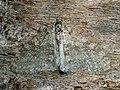 Trichopteryx carpinata - Early tooth-striped - Лопастная пяденица тополёвая (26087462287).jpg