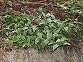 Tricyrtis hirta (leaf s3).jpg