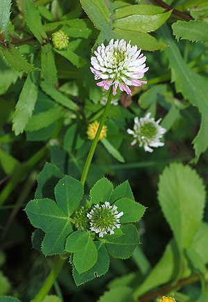 Beneficial weed - Clover was once included in grass seed mixes, because it is a legume that fertilizes the soil