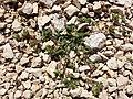Trifolium scabrum sl2.jpg