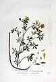 Trigonella corniculata — Flora Batava — Volume v3.jpg