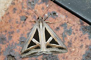 <i>Trigonodes hyppasia</i> species of insect