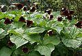 Trillium sulcatum - Flickr - S. Rae.jpg
