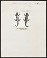 Triton marmoratus - 1700-1880 - Print - Iconographia Zoologica - Special Collections University of Amsterdam - UBA01 IZ11400123.tif