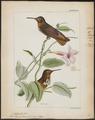 Trochilus castelnaudii - 1820-1860 - Print - Iconographia Zoologica - Special Collections University of Amsterdam - UBA01 IZ19100345.tif