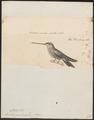 Trochilus mesoleucus - 1700-1880 - Print - Iconographia Zoologica - Special Collections University of Amsterdam - UBA01 IZ19100295.tif