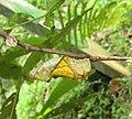 Troides minos - Southern Birdwing pupa at Thattekkadu (3).jpg