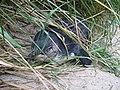 Tučňák nejmenší na Otago Peninsula - panoramio.jpg