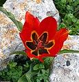 Tulip agenensis ZE.jpg