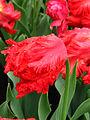 Tulipa (parrot, red cultivar) 01.JPG