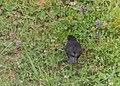 Turdus merula male in Aveyron (6).jpg