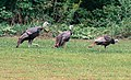 Turkeys, Dodge Nature Center, St. Paul (14918341716).jpg