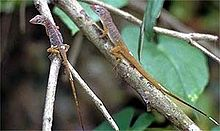 Two Anolis pogus on a branch.jpg