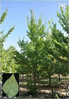 <i>Ulmus minor</i> Ademuz Elm cultivar