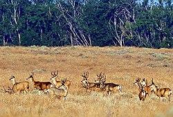 Umatilla NWR mule deer.jpg