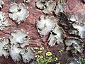 Umbilicaria grisea Jymm 01.jpg