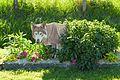Un loup en vadrouille.jpg
