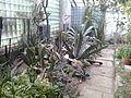 Ungvári botanikus kert üvegháza - Agávé.jpg