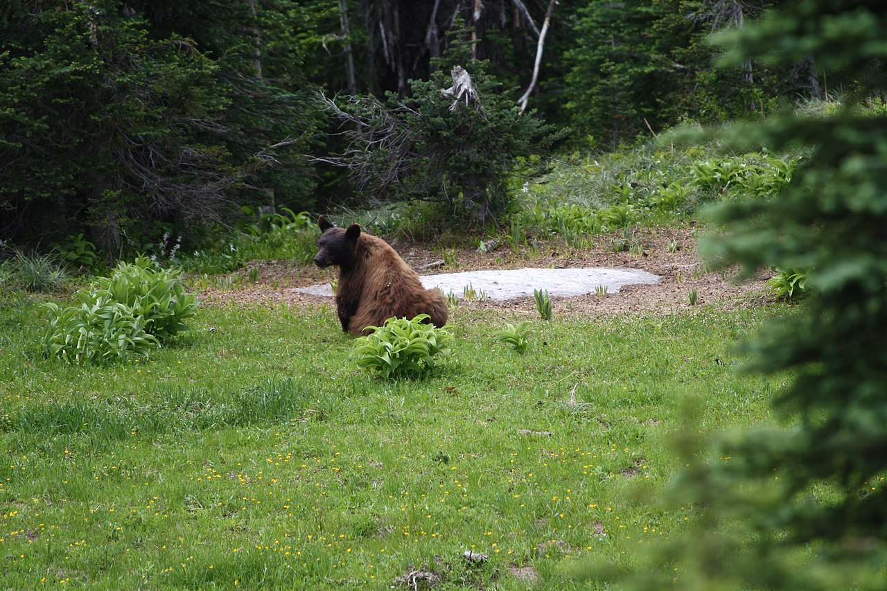 a bear in the wild