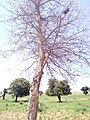 VIEW OF LONG THORN TREE IN FALGORE FOREST KANO STATE 2.jpg