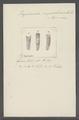 Vaginicola inquilina - - Print - Iconographia Zoologica - Special Collections University of Amsterdam - UBAINV0274 113 20 0005.tif