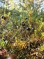 Variksenmarja 4.8.2013 kuusamo pulkkajärvi pulkkajärventientien metsä 1.jpg