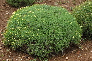 <i>Vella</i> (plant) Genus of flowering plants