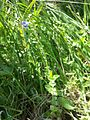 Veronica vindobonensis sl2.jpg