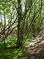 Verwood, bog - geograph.org.uk - 1319585.jpg