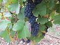 Vigne Louis Pasteur 004.JPG
