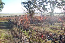 Vines near Naracoorte3.jpg